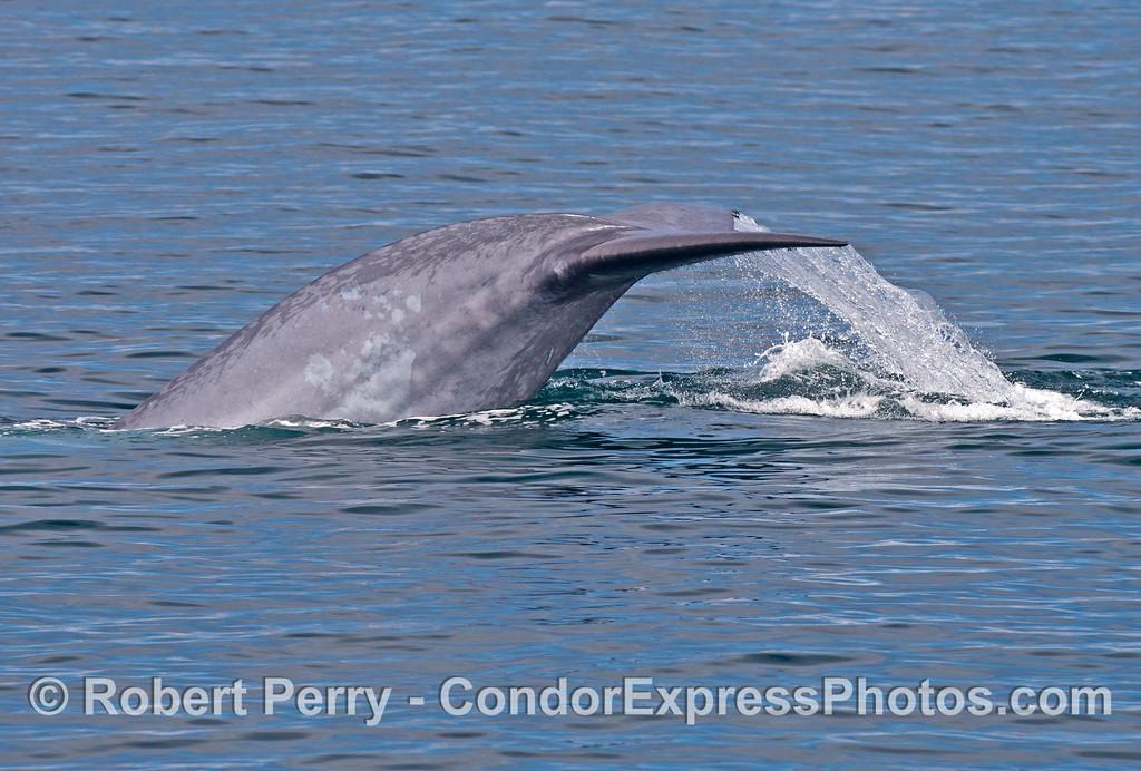 A giant blue whale (<em>Balaenoptera musculus</em>) kicks up its massive tail flukes.