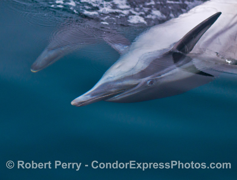 A common dolphin (<em>Delphinus capensis</em>) swims upside down and looks at the camera.