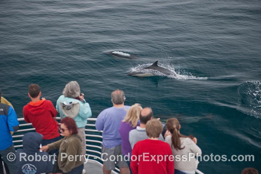 Humans enjoy a close look at friendly common dolphins (<em>Delphinus capensis</em>).