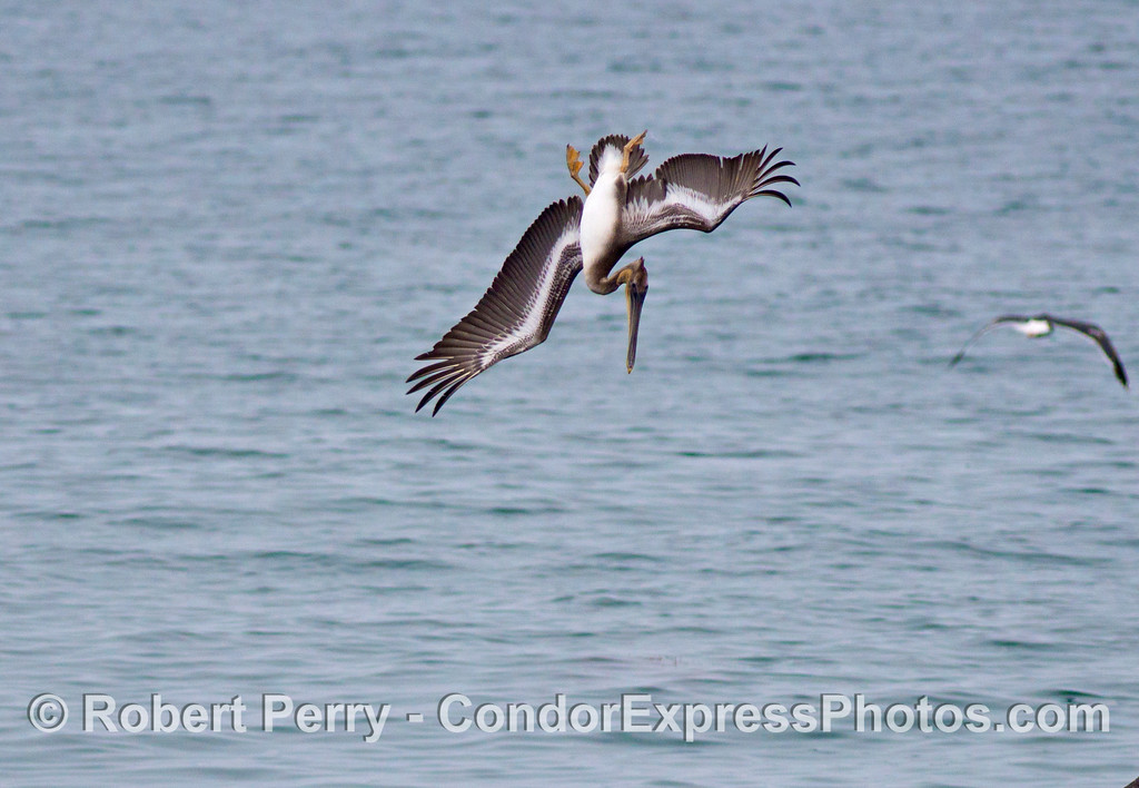 A brown pelican (<em>Pelecanus occidentalis</em>) is captured while it is in mid air preparing to dive on fish.