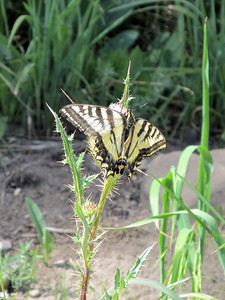 A Swallowtail butterfly on a thistle.