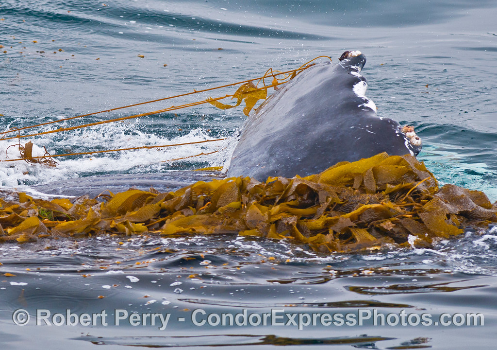 A 40-ton humpback whale (<em>Megaptera novaeangliae</em>) plays in the drifting giant kelp (<em>Macrocystis pyrifera</em>) and pulls kelp with its long pectoral fin.