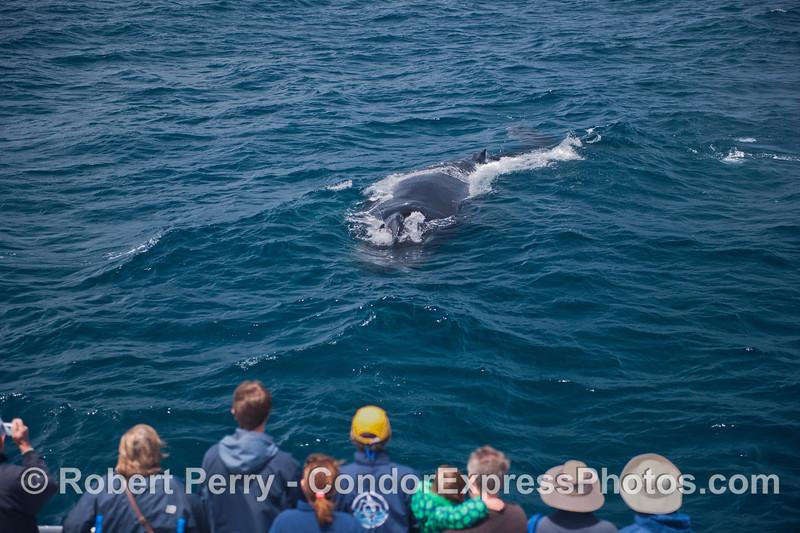 The humans get a friendly visit from a  humpback whale (<em>Megaptera novaeangliae</em>).