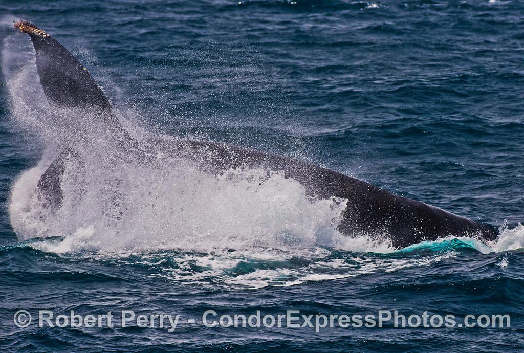 A tail throw maneuver from a humpback whale (<em>Megaptera novaeangliae</em>).