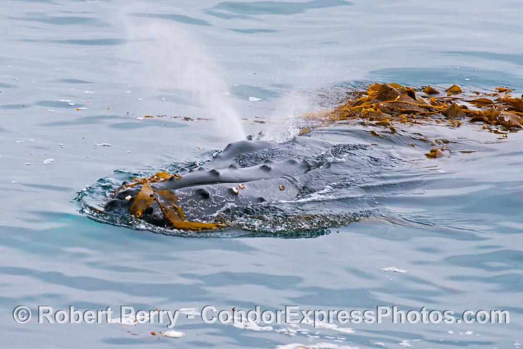 A 40-ton humpback whale (<em>Megaptera novaeangliae</em>) plays in the drifting giant kelp (<em>Macrocystis pyrifera</em>).