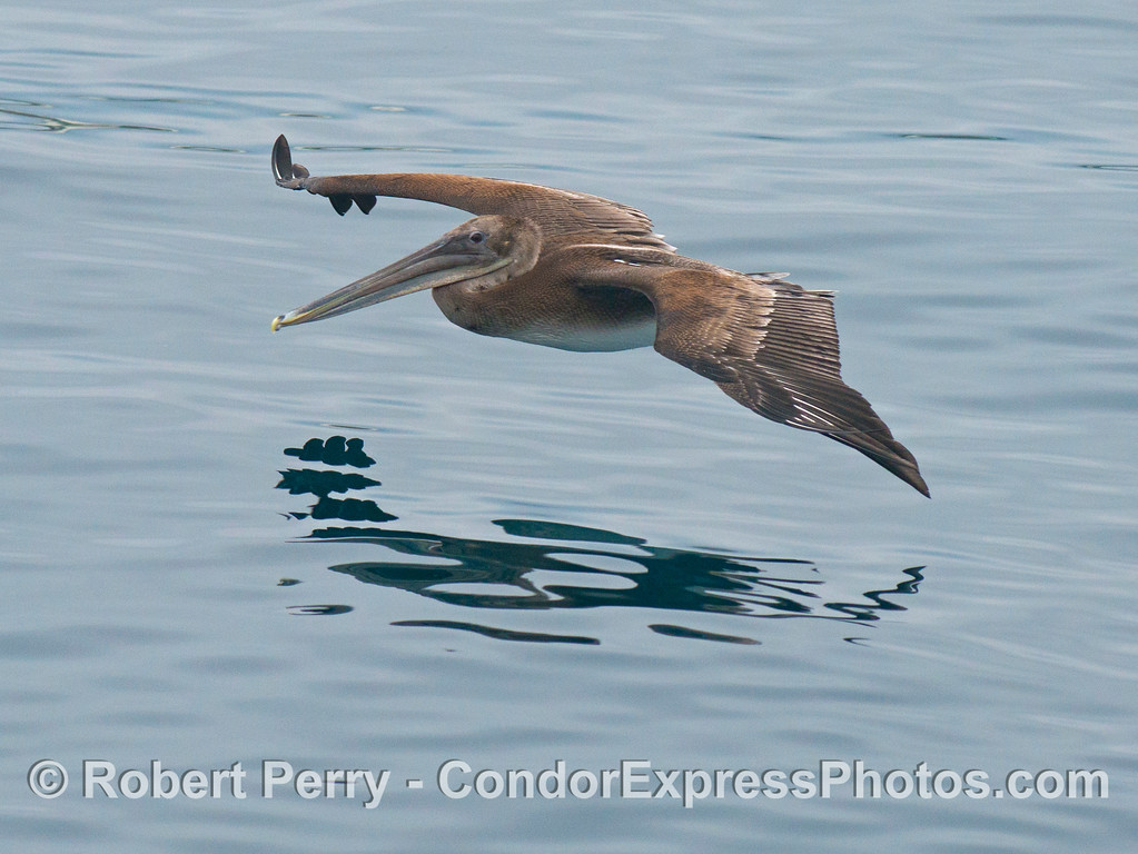 A young brown pelican (<em>Pelecanus occidentalis</em>) soars across the glassy ocean.