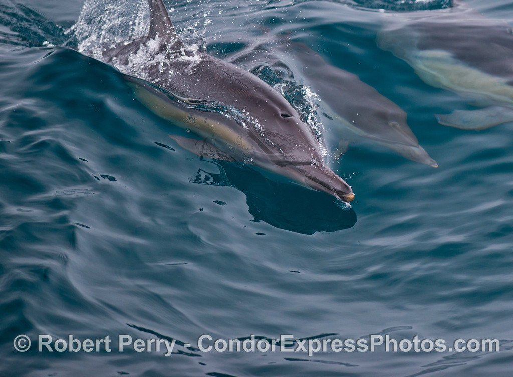 Long beaked common dolphin (Delphinus capensis).