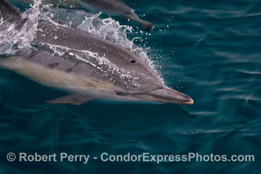 A close up look at a long beaked common dolphin (<em>Delphinus capensis</em>).