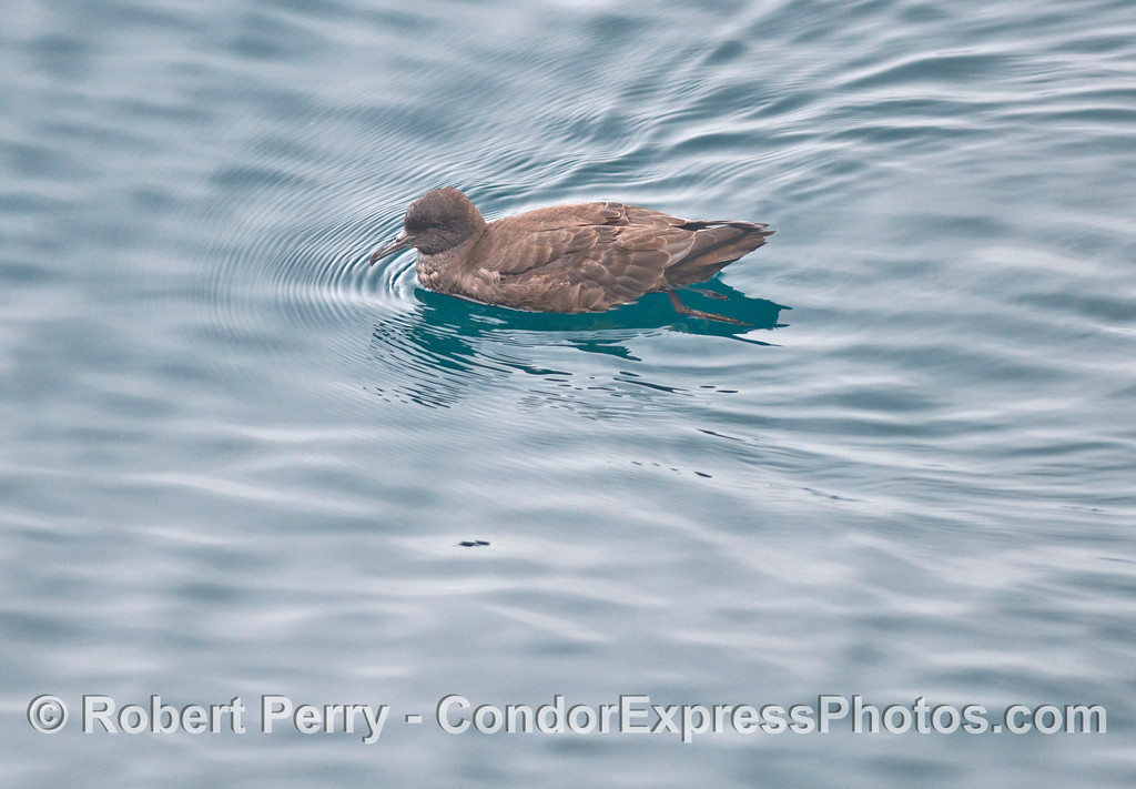 A sooty shearwater  (<em>Puffinus griseus</em>).  The shearwaters are members of the Order Procellariiformes which are seabirds that have two tubes on top of their snouts which can detect very faint odors and find patches of widely dispersed food on the open ocean.