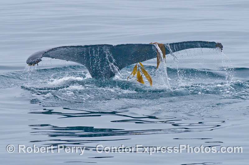 The wide tail flukes of a humpback whale (<em>Megaptera novaeangliae</em>) are seen with a stipe and some fronds of giant kelp (<em>Macrocystis pyrifera</em>).