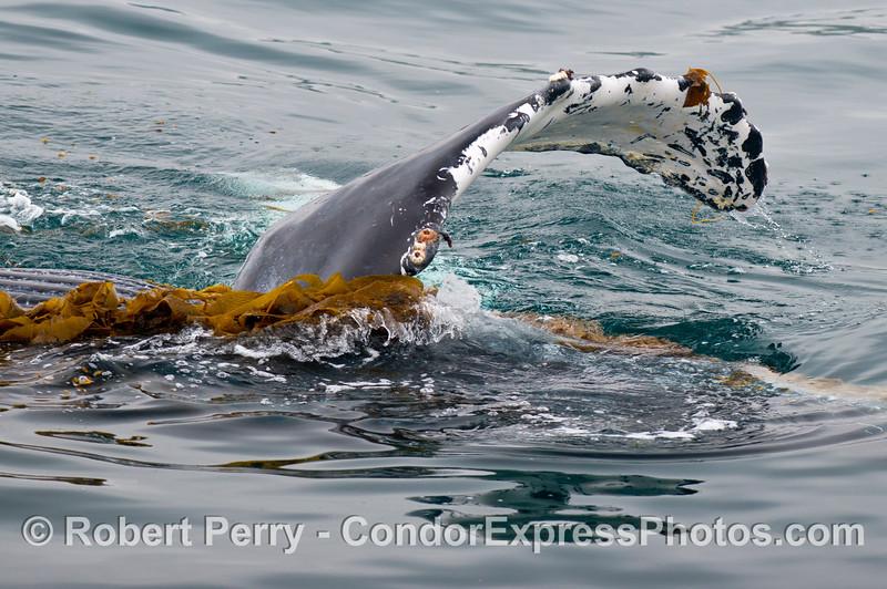 The long pectoral fin of a humpback whale (<em>Megaptera novaeangliae</em>) is shown as it plays in the drifting giant kelp (<em>Macrocystis pyrifera</em>).