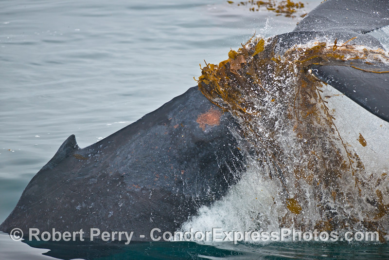 A 40-ton humpback whale (<em>Megaptera novaeangliae</em>) plays in the drifting giant kelp (<em>Macrocystis pyrifera</em>).