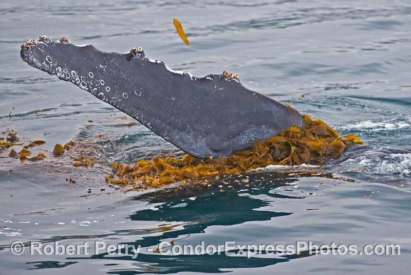 A 40-ton humpback whale (<em>Megaptera novaeangliae</em>) plays in the drifting giant kelp (<em>Macrocystis pyrifera</em>) and waves its long pectoral fin.