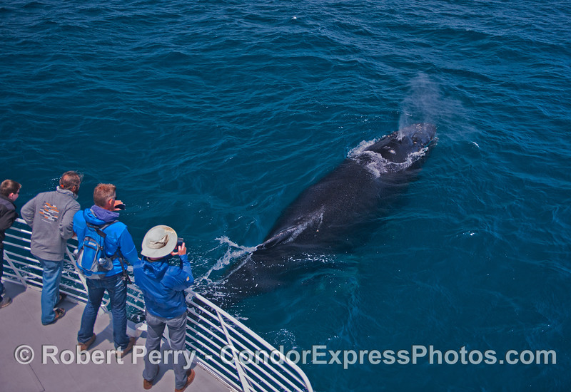 A humpback whale (<em>Megaptera novaeangliae</em>) pays a friendly visit to the Condor Express by coming up from directly beneath the boat and spouting.