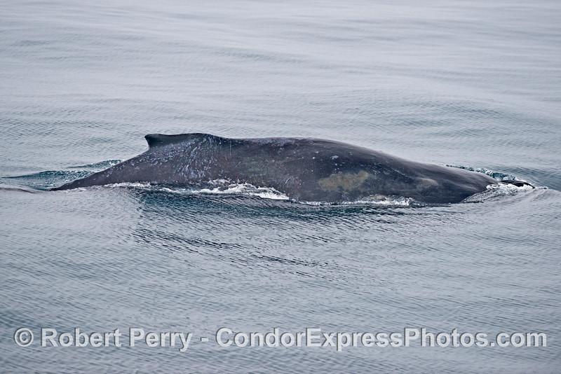 Left lateral flanks and dorsal fin of a humpback whale (<em>Megaptera novaeangliae</em>).