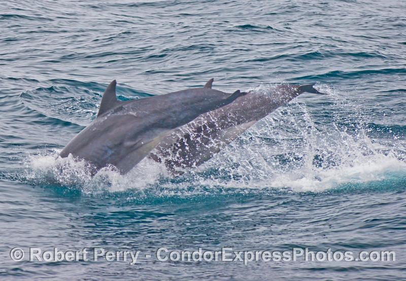 Two diving offshore bottlenose dolphins (<em>Tursiops truncatus</em>).