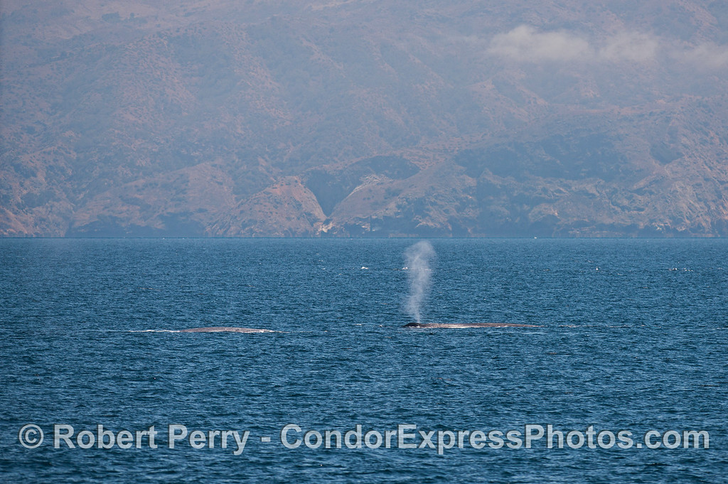 Two giant blue whales (<em>Balaenoptera musculus</em>) and Santa Cruz Island in the background.