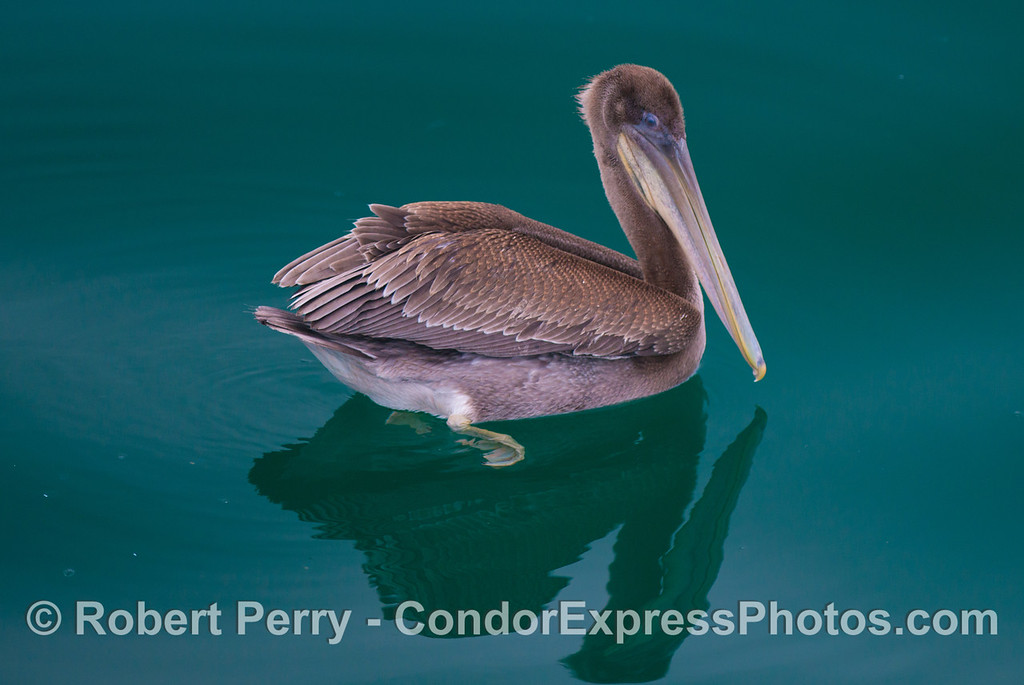 A juvenile brown pelican (<em>Pelecanus occidentalis</em>) is photographed on a mirror glass ocean surface.