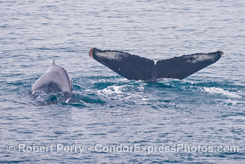 Mother and calf humpback whales (<em>Megaptera novaeangliae</em>) kick up their flukes and dive together.