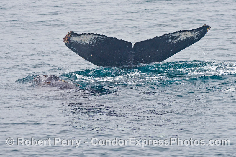 Mother and calf - humpback whales (<em>Megaptera novaeangliae</em>).  This image gives one a nice size comparison between the adult and juvenile.