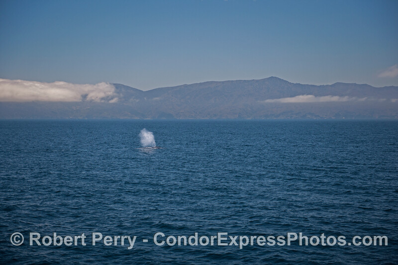 A tall spout on a blue sea - a blue whale (<em>Balaenoptera musculus</em>) near Santa Cruz Island.