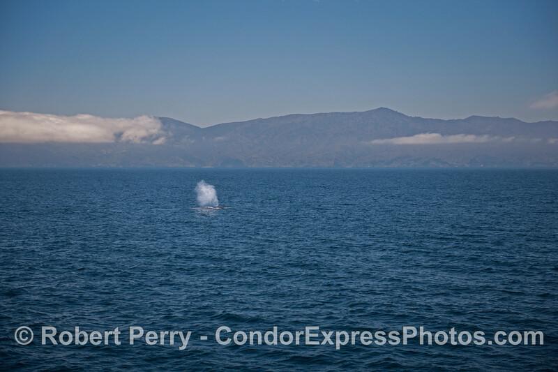 A tall spout on a blue sea - a blue whale (<em>Balaenoptera musculus</em>) near Santa Cruz Island.