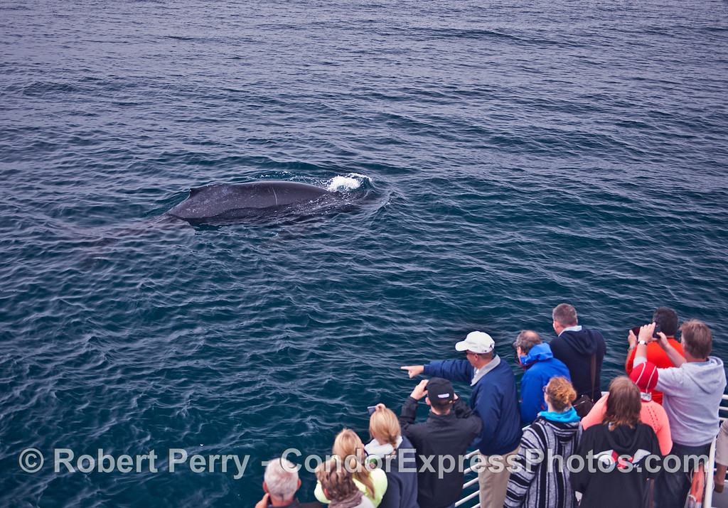 A friendly humpback whale (<em>Megaptera novaeangliae</em>) pays a visit to the humans.