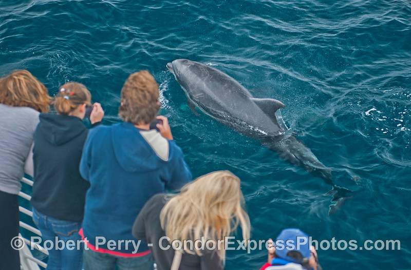 A large offshore bottlenose dolphin (<em>Tursiops truncatus</em>) makes a friendly approach.