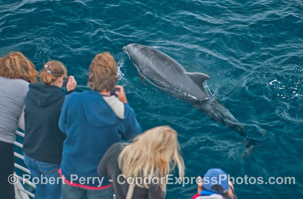 A large offshore bottlenose dolphin (<em>Tursiops truncatus</em>) makes a friendly approach.