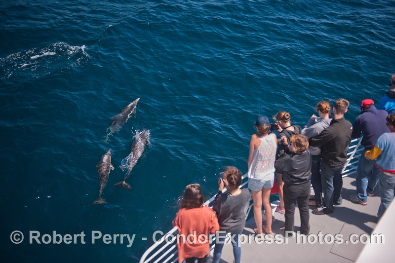 Common dolphins (<em>Delphinus capensis</em>) get a great look at the humans.