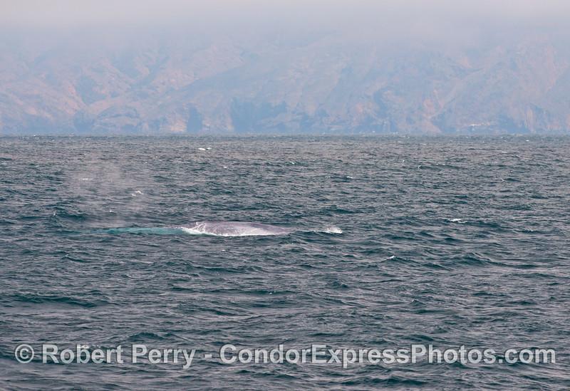 A giant blue whale (<em>Balaenoptera musculus</em>) on a choppy sea.