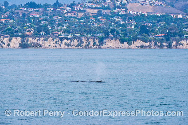 A humpback whale (<em>Megaptera novaeangliae</em>) is seen close to the Santa Barbara shoreline.
