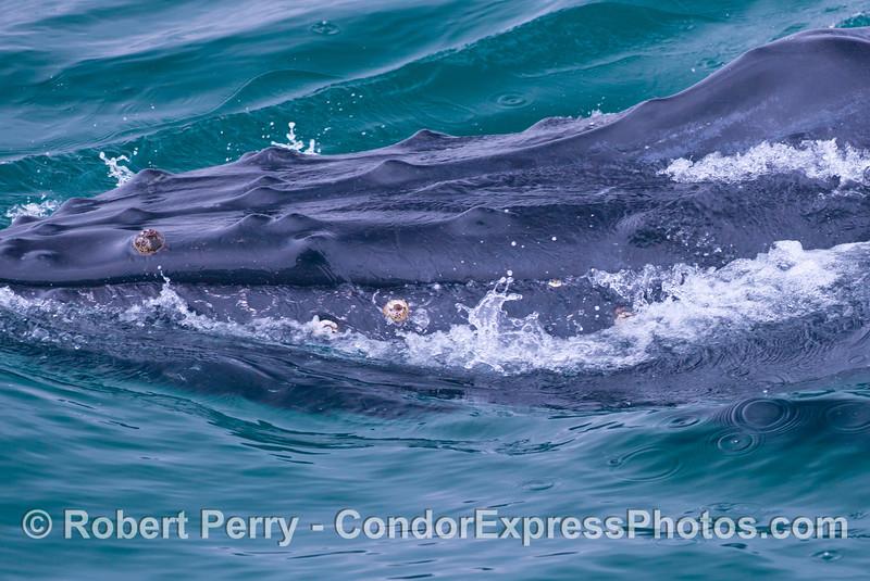 A close look at the knobby head of a humpback whale (<em>Megaptera novaeangliae</em>).