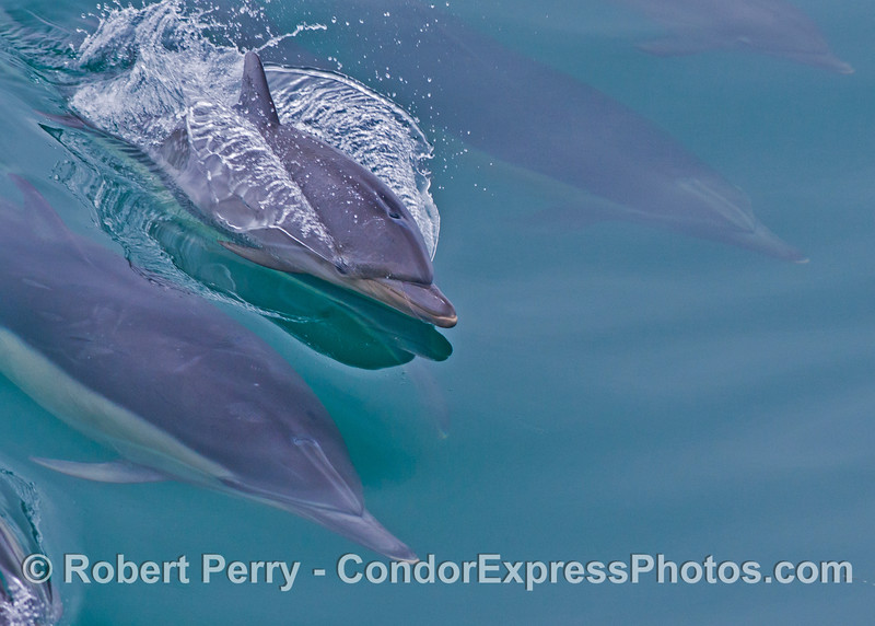 A very young common dolphin calf (<em>Delphinus capensis</em>) is seen on the mirror glass surface.