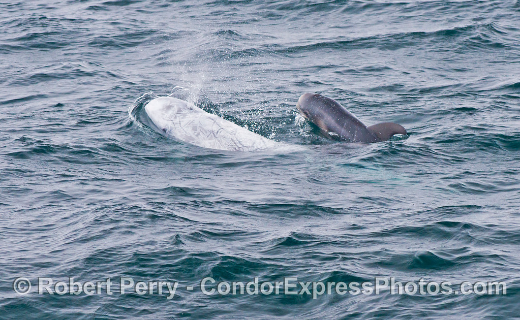 A white, scarred mother Risso's dolphin (<em>Grampus griseus</em>) swims alongside her dark calf.