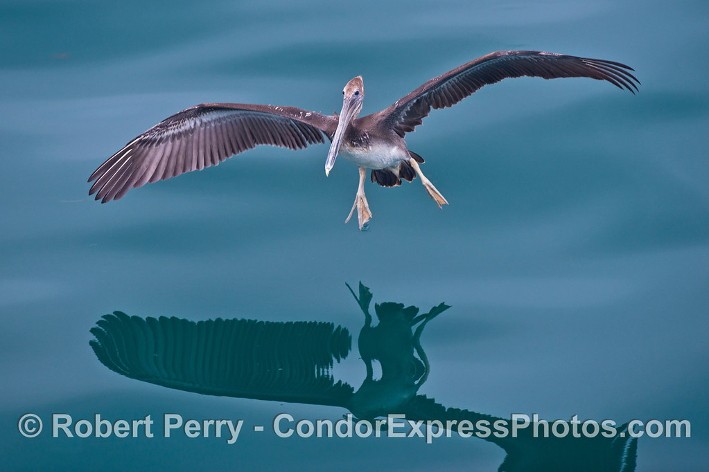 A young brown pelican (<em>Pelecanus occidentalis</em>) comes in for a landing on a mirror glass ocean surface.