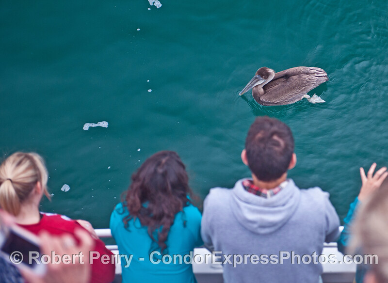 Here we see a very young brown pelican (<em>Pelecanus occidentalis</em>) posing for pictures.