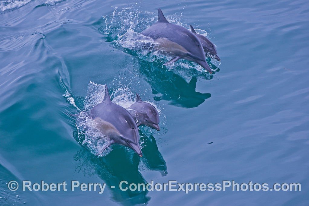 Two pairs of common dolphin mothers with their calves (Delphinus capensis) captured leaping across the waves.