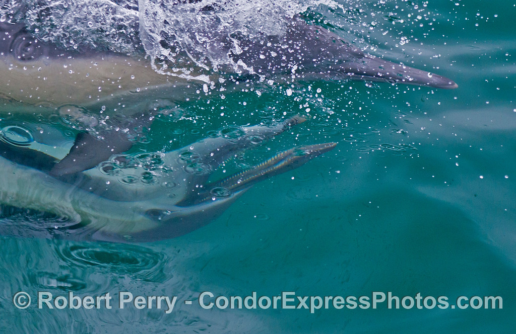 A male common dolphin (<em>Delphinus capensis</em>) has his mouth open as he swims beneath a female.
