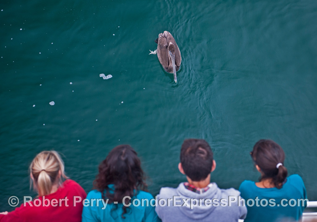 You never know what kind of marine life you will go eyeball-to-eyeball with on the Condor Express.  A brown pelican (<em>Pelecanus occidentalis</em>) stares down the people.