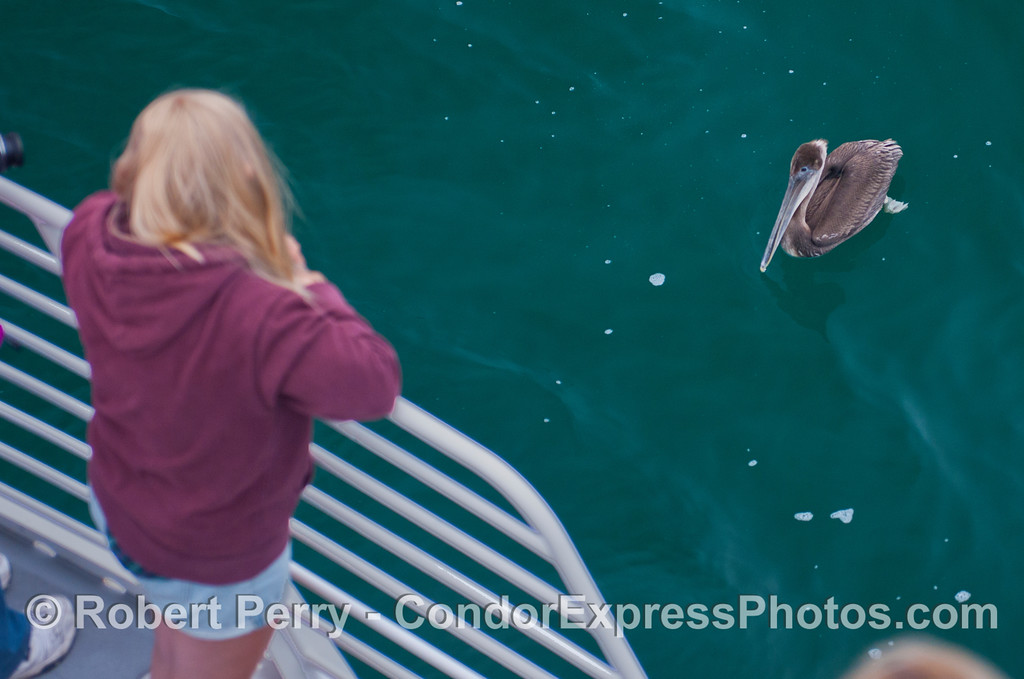 A young brown pelican (<em>Pelecanus occidentalis</em>) introduces itself to the people.