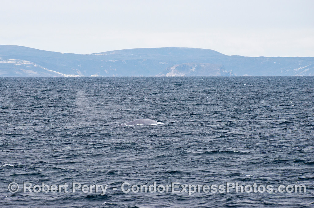A blue whale (<em>Balaenoptera musculus</em>) spout flies away in the breeze with San Miguel Island in the background.