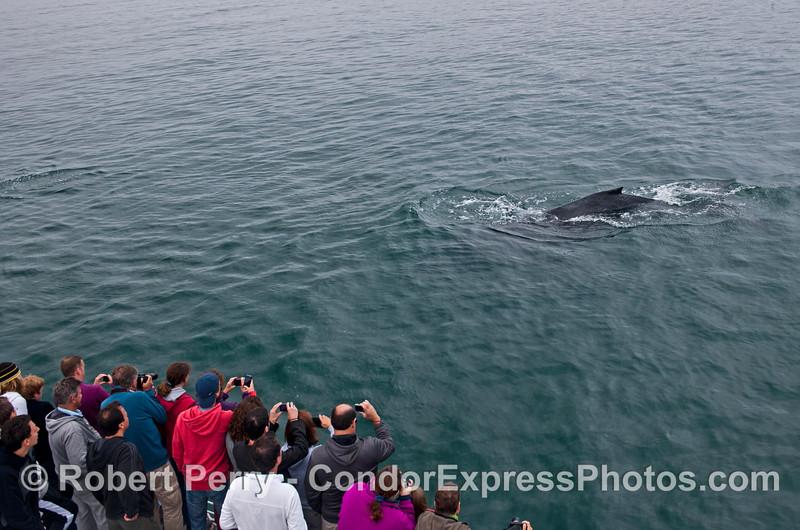 A humpback whale (<em>Megaptera novaeangliae</em>) makes a friendly pass by the cameras.