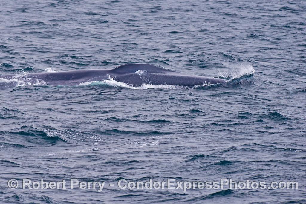 A blue whale (<em>Balaenoptera musculus</em>).
