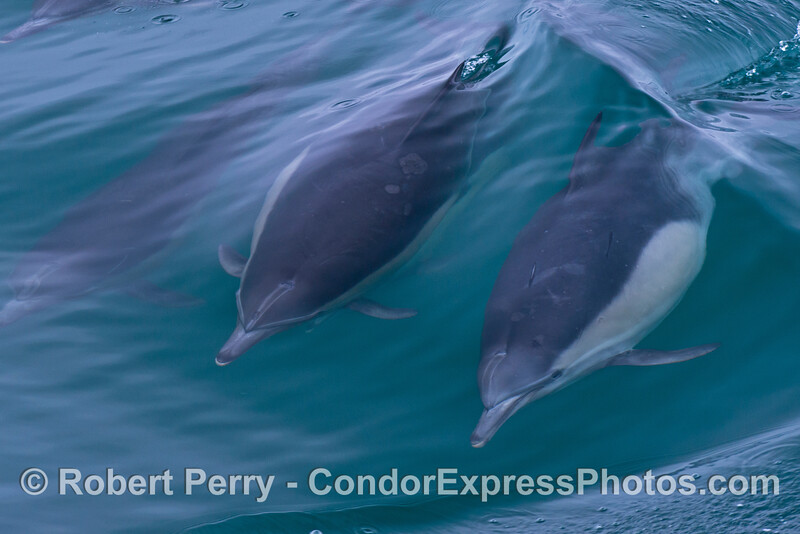 Two surfing common dolphins (<em>Delphinus capensis</em>) seen under water.