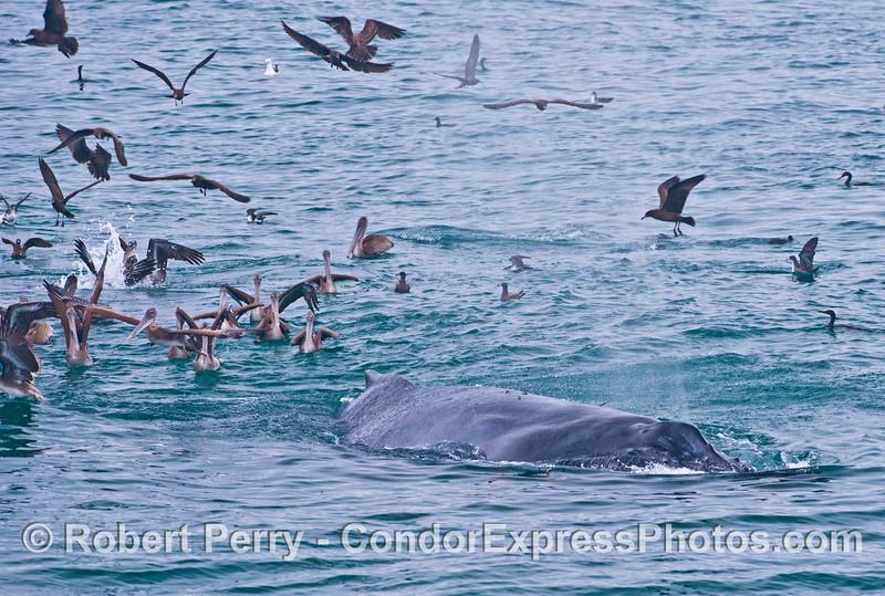 Seabirds, mostly brown pelicans (<em>Pelecanus occidentalis</em>), surround a humpback whale (<em>Megaptera novaeangliae</em>).