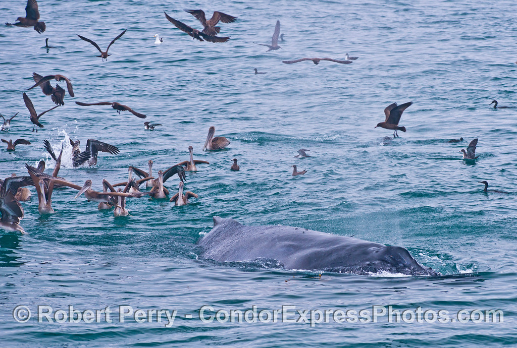 Seabirds, mostly brown pelicans (<em>Pelecanus occidentalis</em>), surround a humpback whale (<em>Megaptera novaeangliae</em>).