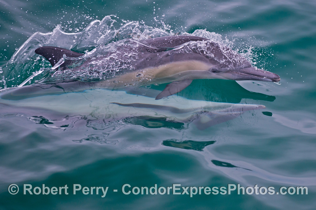 Two common dolphins (<em>Delphinus capensis</em>) - mating.