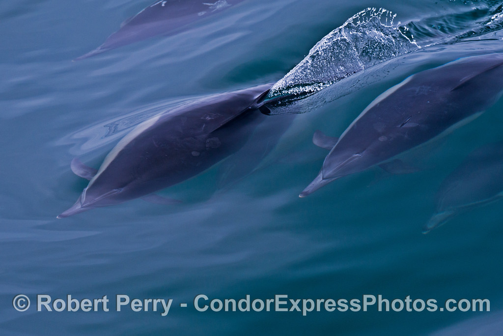 A group of surfing common dolphins (<em>Delphinus capensis</em>) create patterns in the smooth water.