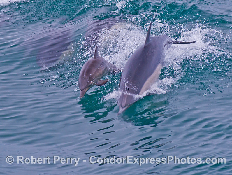 Another look at the mother common dolphin (<em>Delphinus capensis</em>) and her calf.